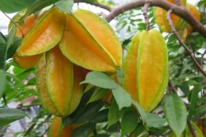 常吃杨桃不仅去火还能美容但要注意一类人吃它容易中毒